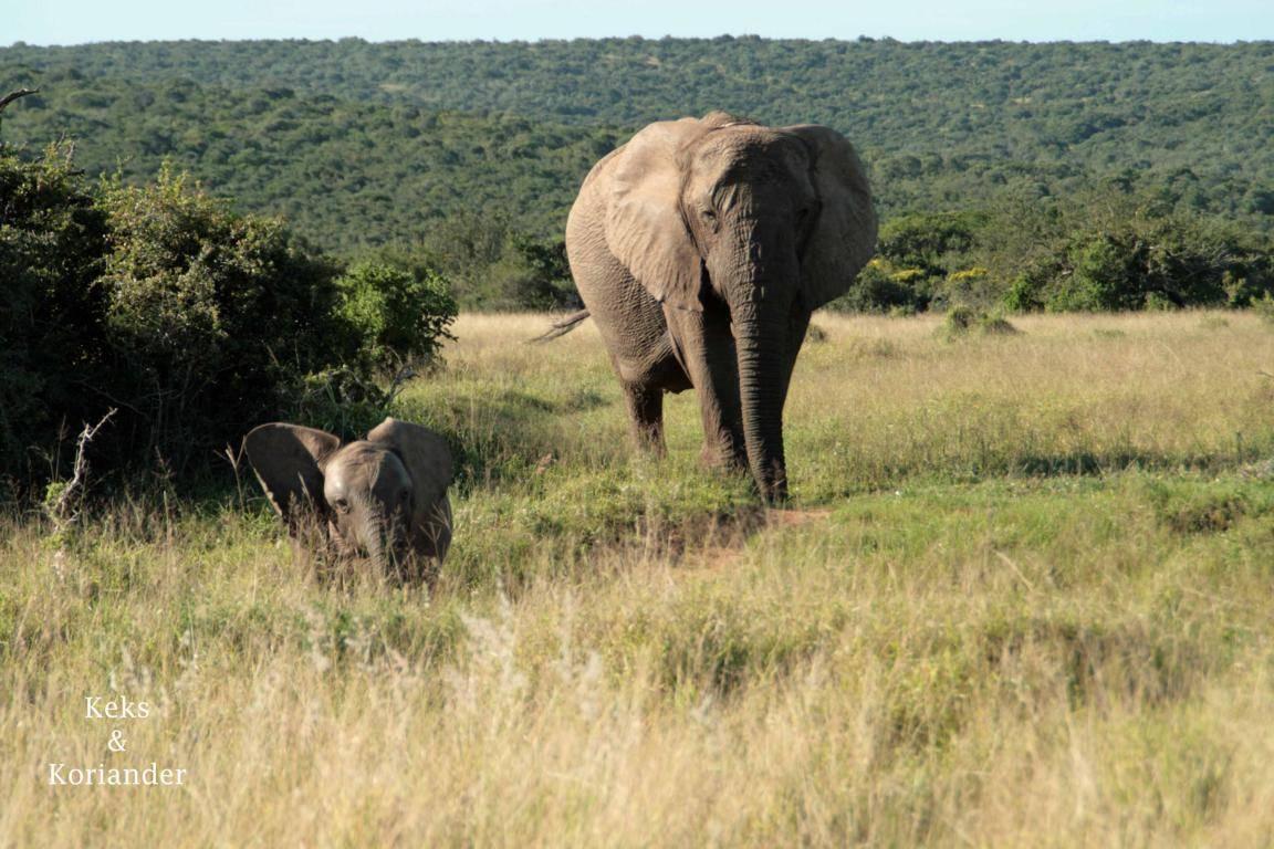 Addo Elephant NP Elefanten